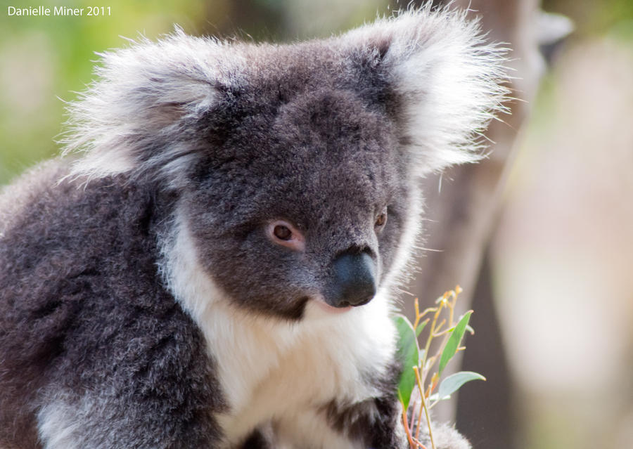Cute Koala by DanielleMiner