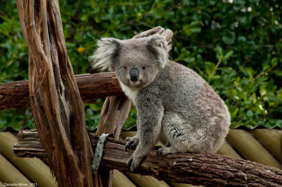 Jirrahlinga Koala by DanielleMiner