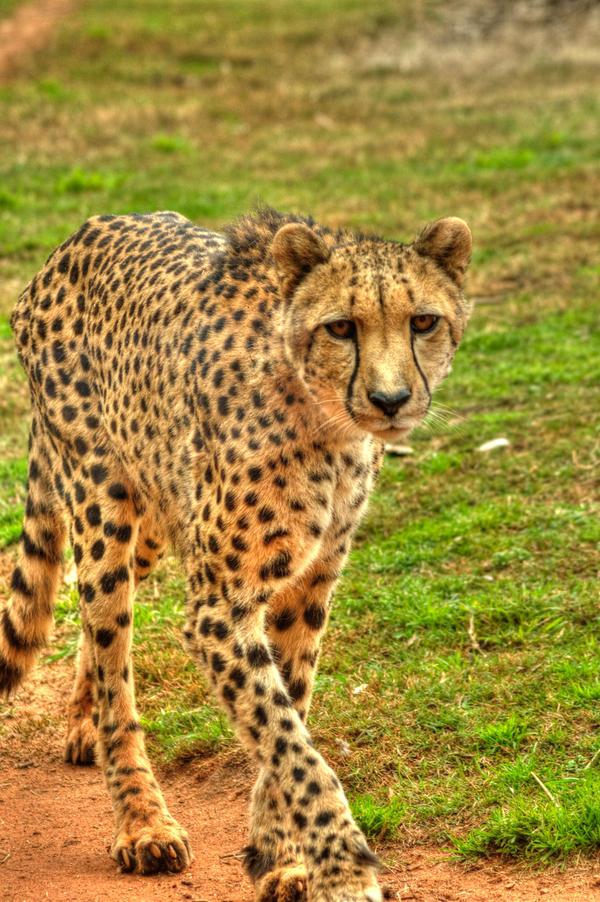 Cheetah HDR by DanielleMiner