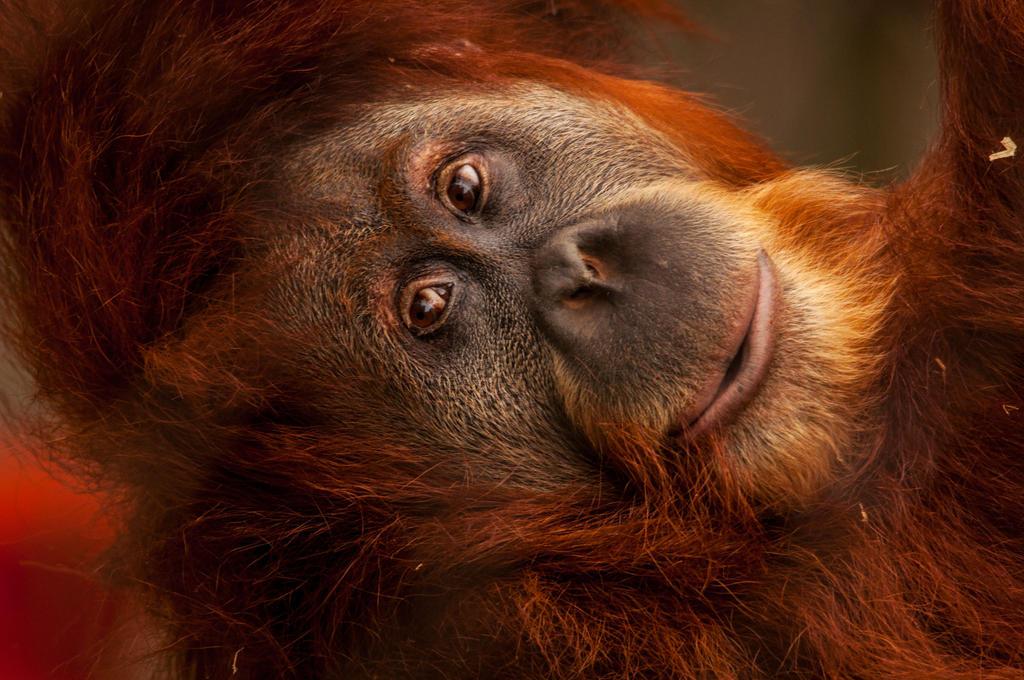 Orangutan by DanielleMiner