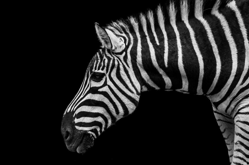 Zebra by daniellepowell82