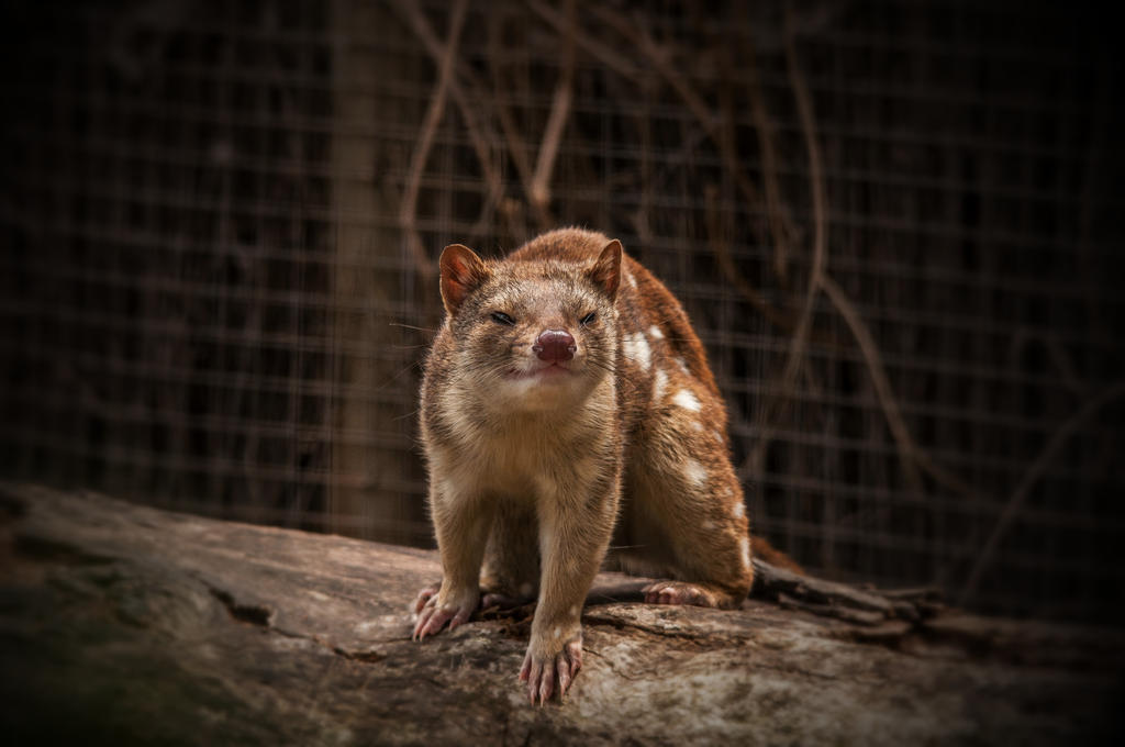 Quoll 2 by DanielleMiner