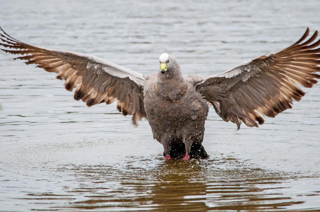 Cape Barron Goose by DanielleMiner