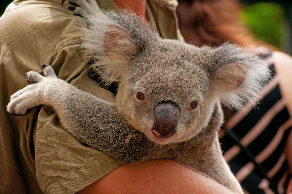 Koala by DanielleMiner