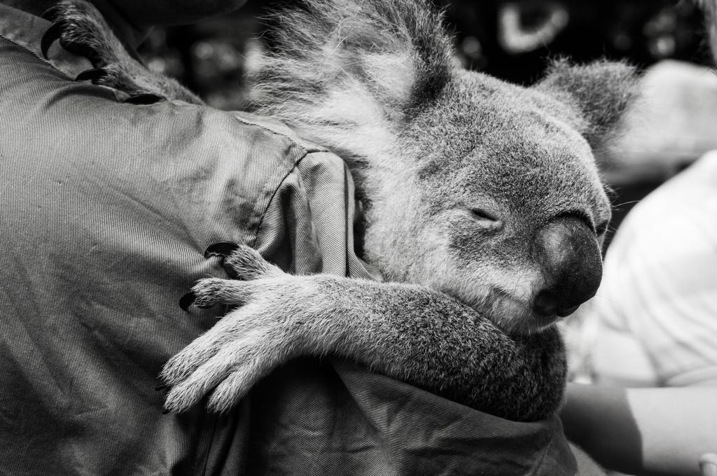 Koala BW by DanielleMiner