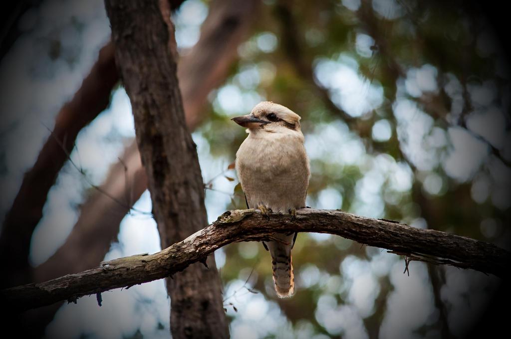 Kookaburra in the Wild by DanielleMiner