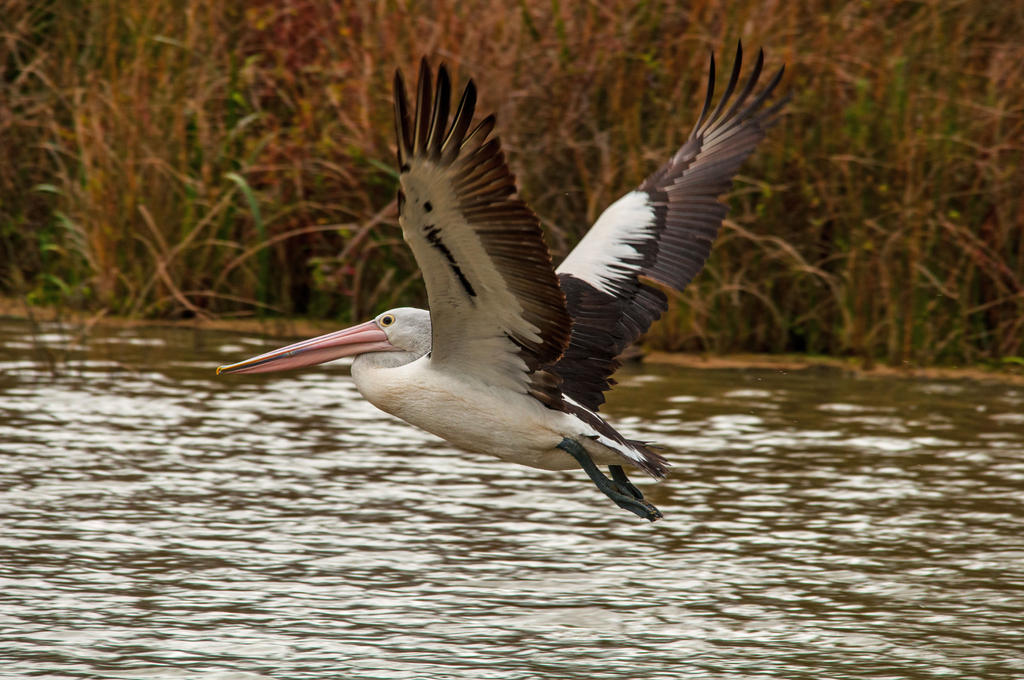 Pelican Take Off by DanielleMiner