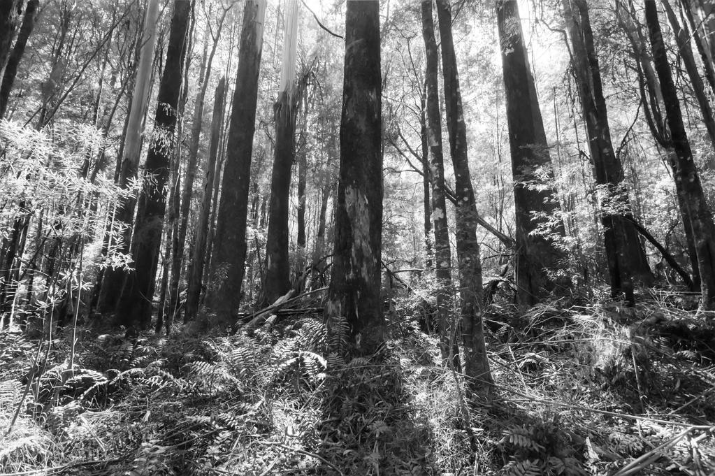 Otway Trees BW by DanielleMiner