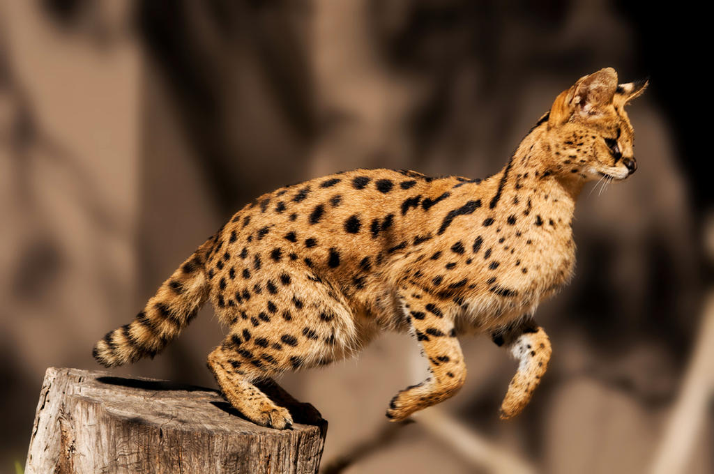 Serval by DanielleMiner