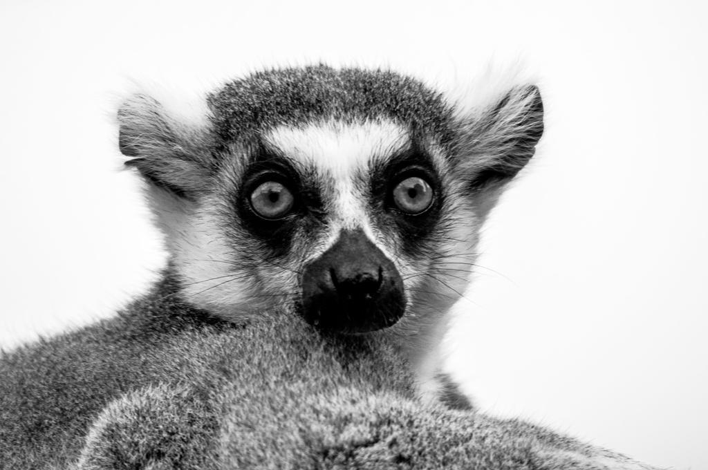 Lemur 3 by DanielleMiner