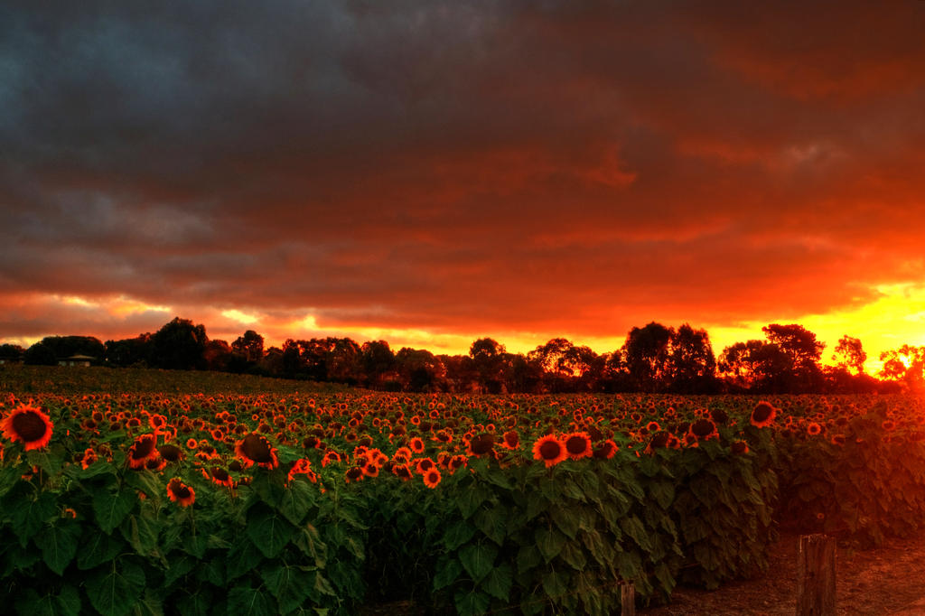 Sunflowers and Sunsets 2 by daniellepowell82