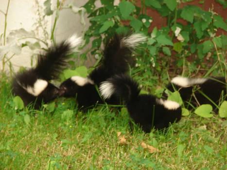 Wild baby skunks
