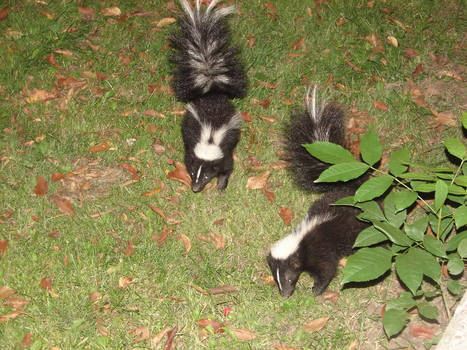 Baby skunks have grown up