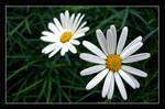 daisy by DenizDayangac