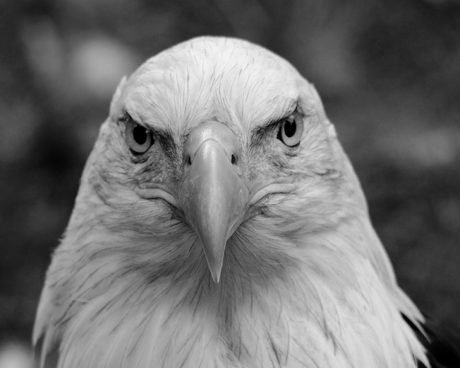 Bald Eagle black and white by arcadian7