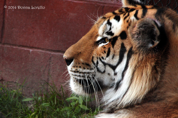 Amur or Siberian Tiger - male by arcadian7