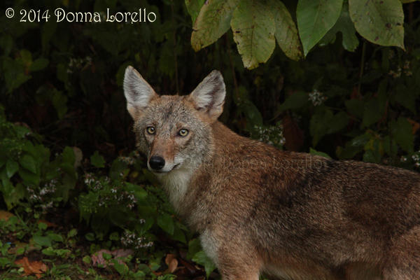 Backyard young male coyote by arcadian7