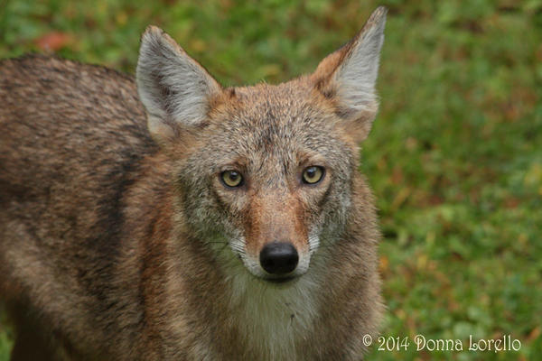 Backyard young male coyote face by arcadian7