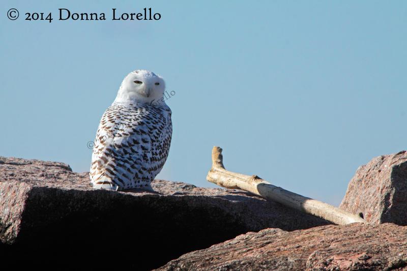 Female Snowy Owl by arcadian7