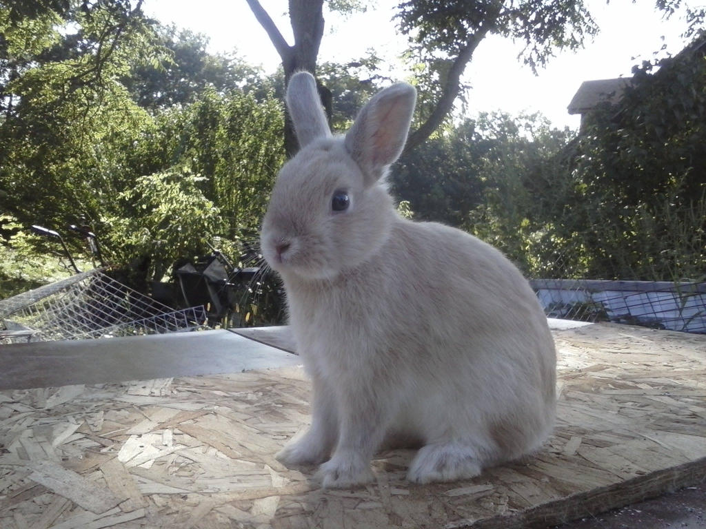 Rabbit Breeds That Will Always Stay Small   Coops & Cages ...
