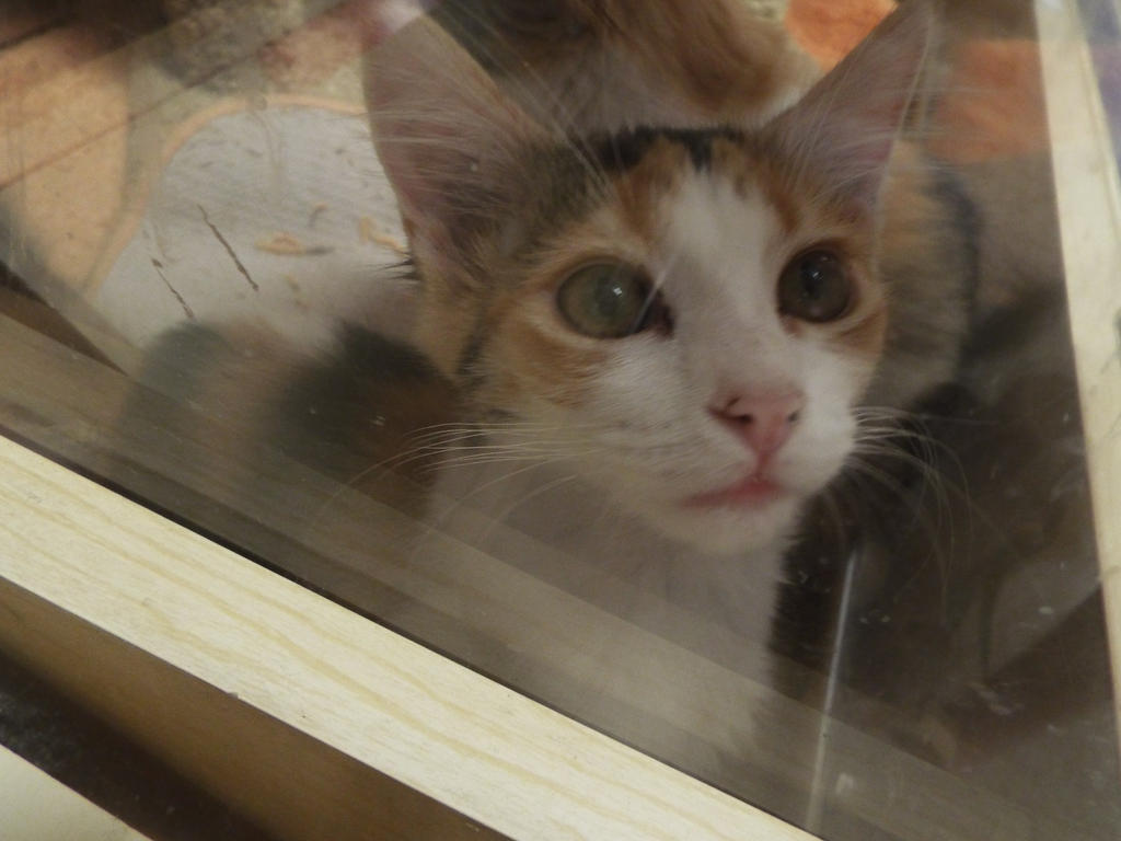 Calico Kitten At Petsmart Waiting For Adoption By