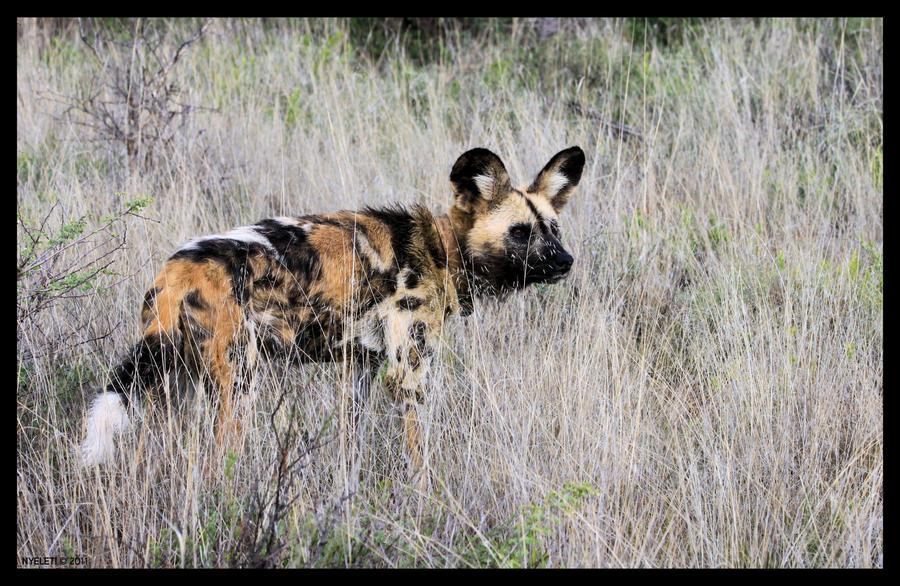 African Wild Dog 2 by Nyeleti