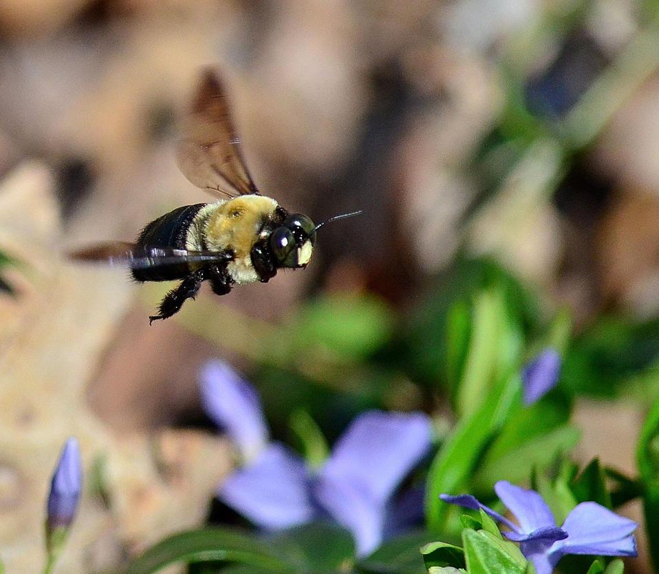 flight of the bumblebee pdf