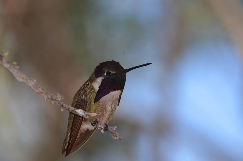 Humming Bird by queesesto