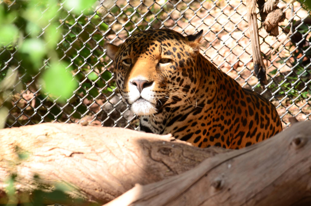 Jaguar by queesesto