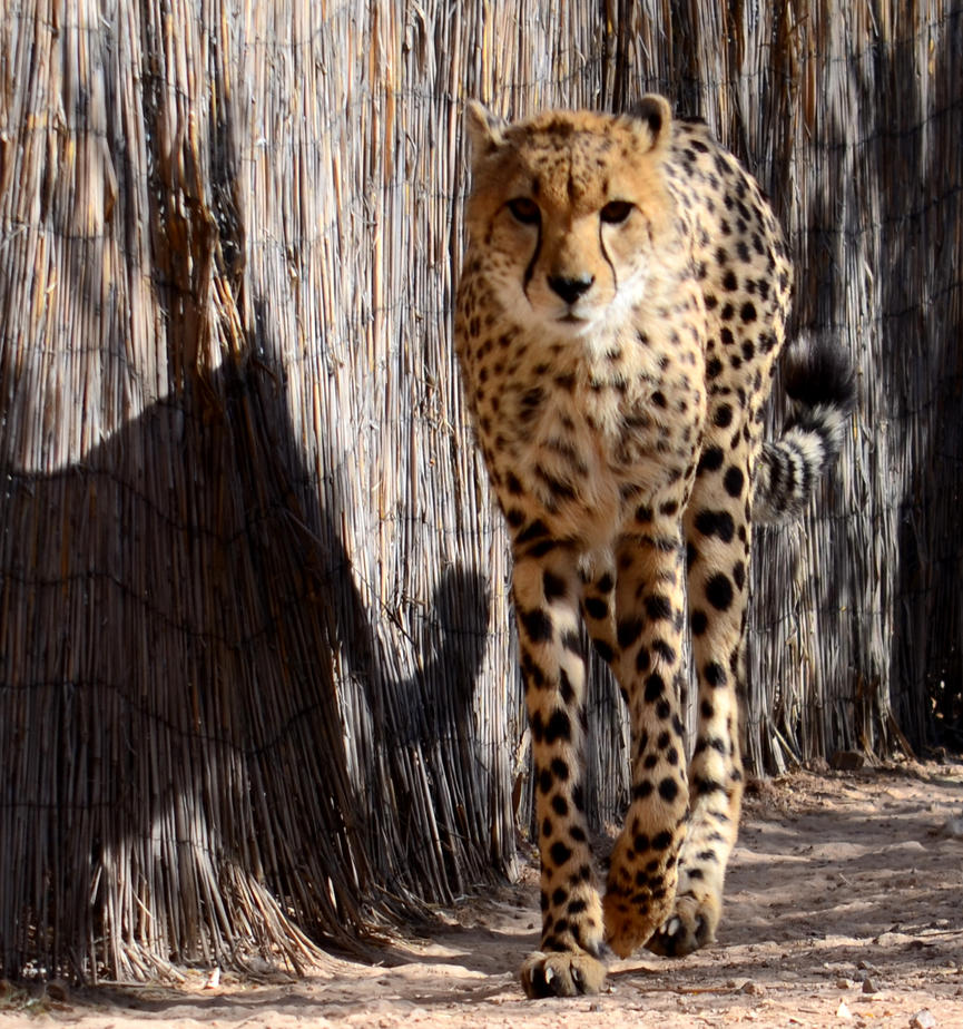 Cheeta by queesesto