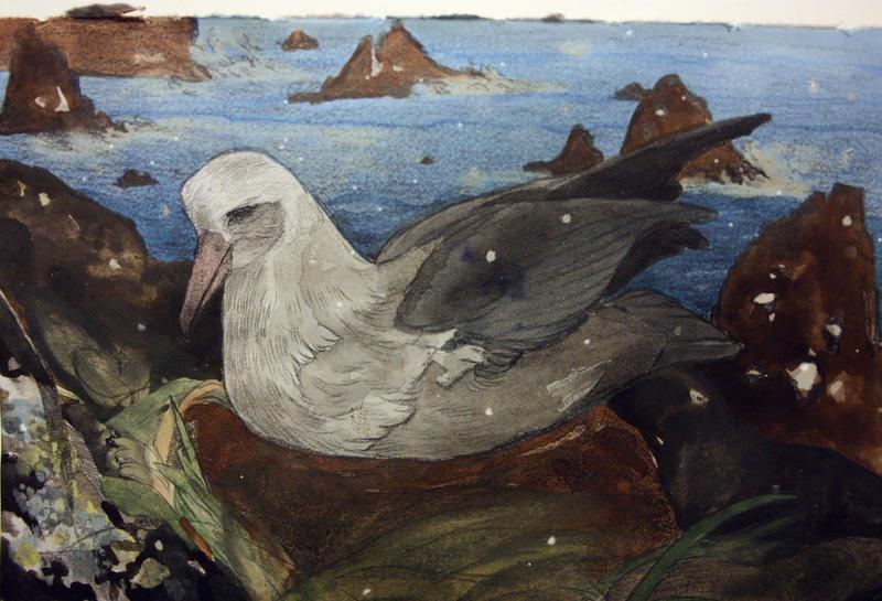 Laysan Albatross by laguwaga