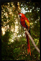 Squaw or Macaw
