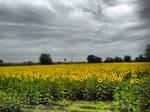 Sunflowers by buraaka