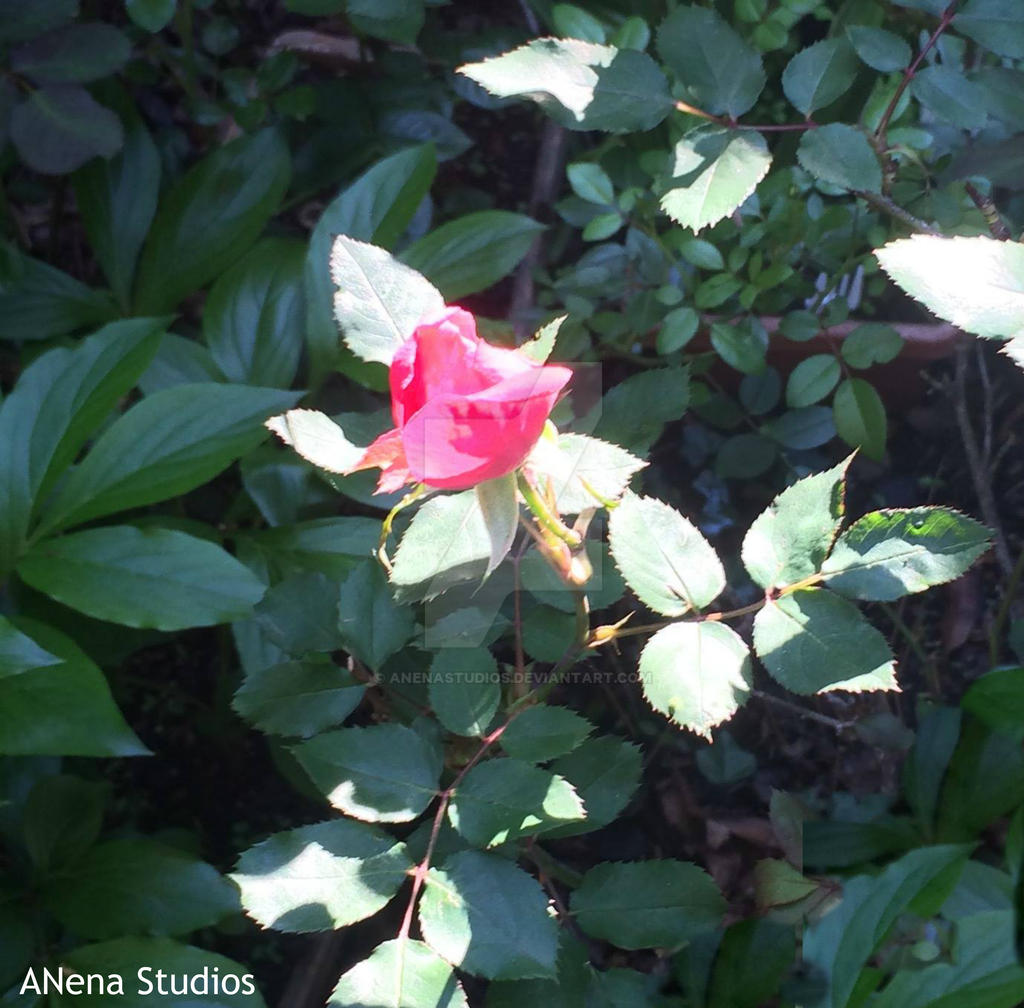 A Rose in sunlight By ANena Studios by ANenaStudios