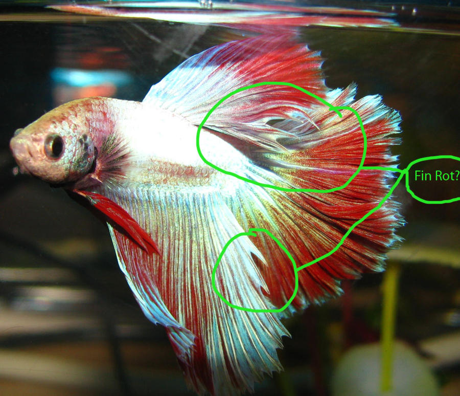 What does a betta fish look like