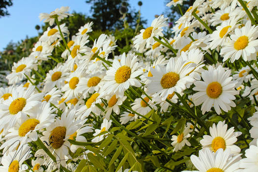 Daisies for Days