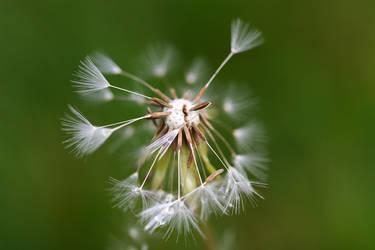 Dandelion by pilwe