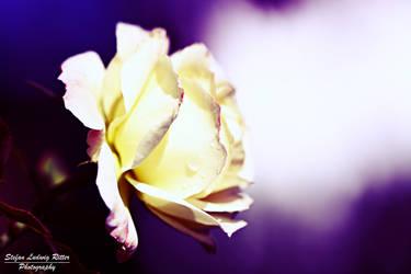 White Rose by pilwe