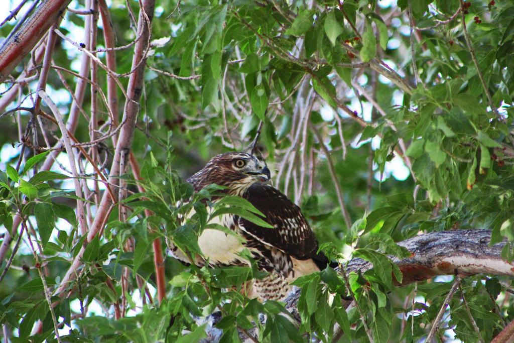 Suddenly Hawk! by Keiji22