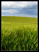 Wheats in the meadows by floflo