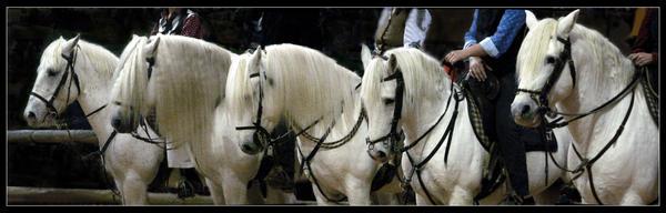Horses of camargue by floflo