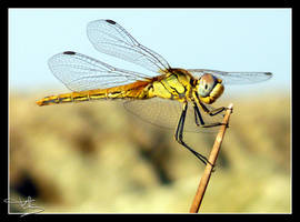 Dragonfly by floflo