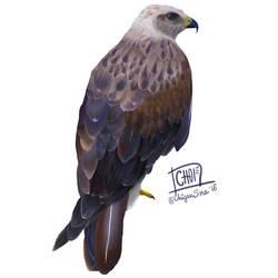 4 of 10: Long-legged buzzard [ Buteo rufinus ]