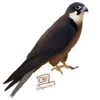 5 of 10: Eleonora's falcon [ Falco eleonorae ]