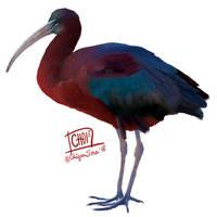 6 of 10: Glossy ibis [ Plegadis falcinellus ]