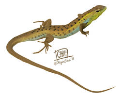 10 of 10: Snake-eyed lizard [ Ophisops elegans ]