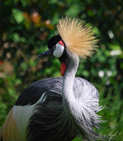 Crown crane bird by WALKING-GIRL