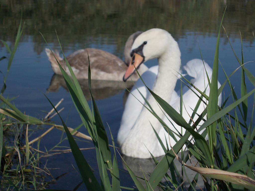 Swans Posing by nikkeae