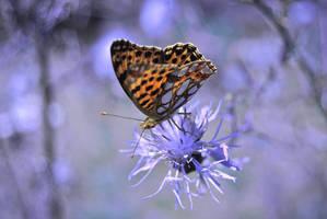 Issoria lathonia by HowlingNunnally