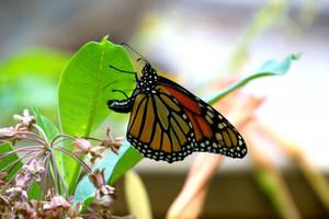 monarch (Danaus plexippus) - 3rd generation female by minamiko